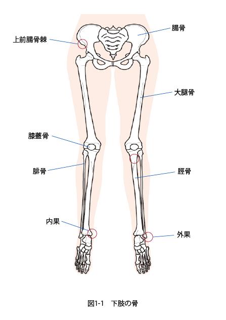 下肢の骨の構造