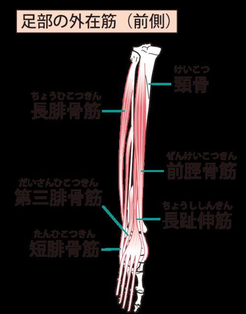 下腿前面の筋