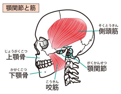 顎関節と筋