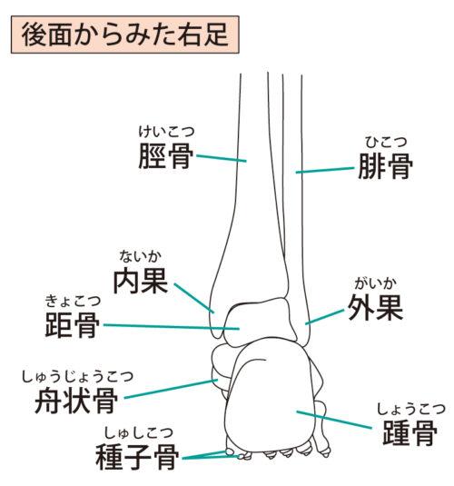 足関節(後面)