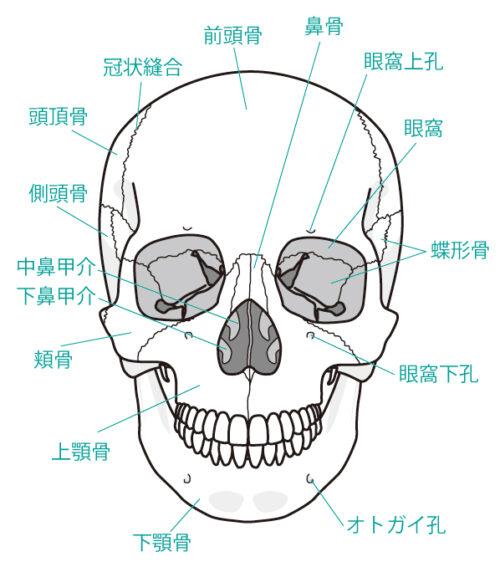 頭蓋骨前面