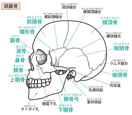 頭蓋骨側面