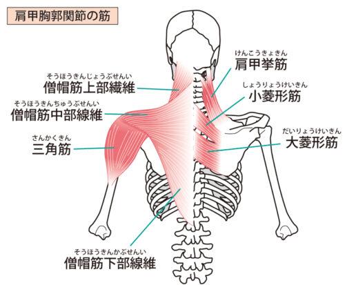 頚部後面表層の筋
