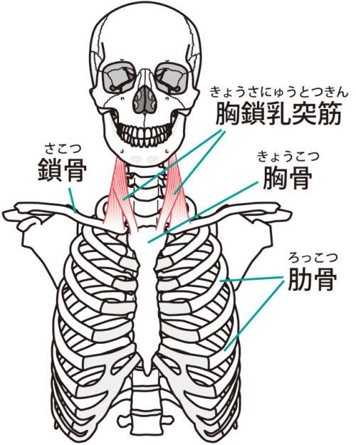 頚部前面の筋