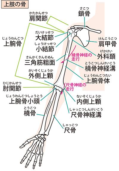 上肢の骨の構造(前面)